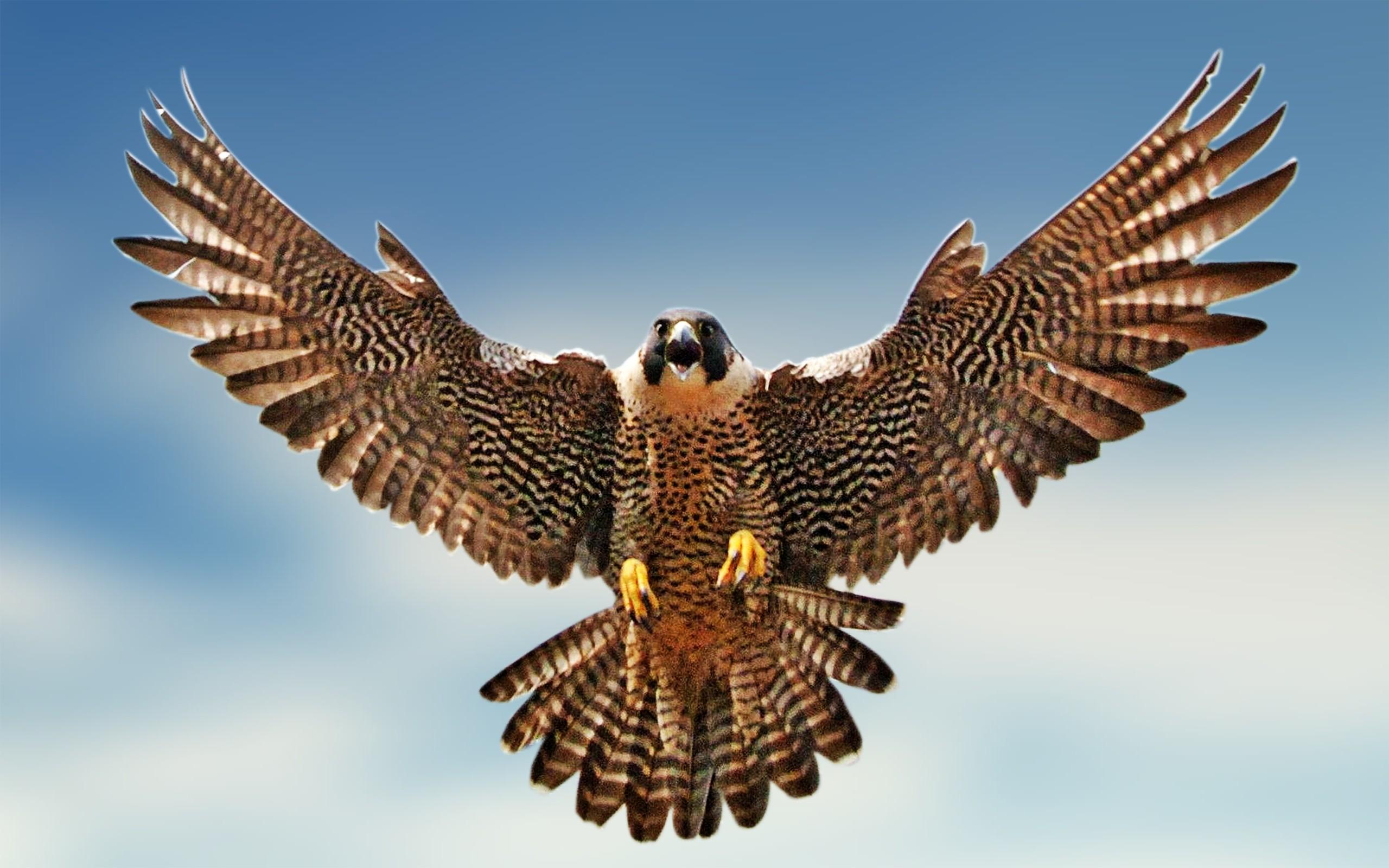 Falcon graphic - photo#6